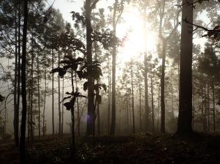 แสงยามเช้ากับป่าสน